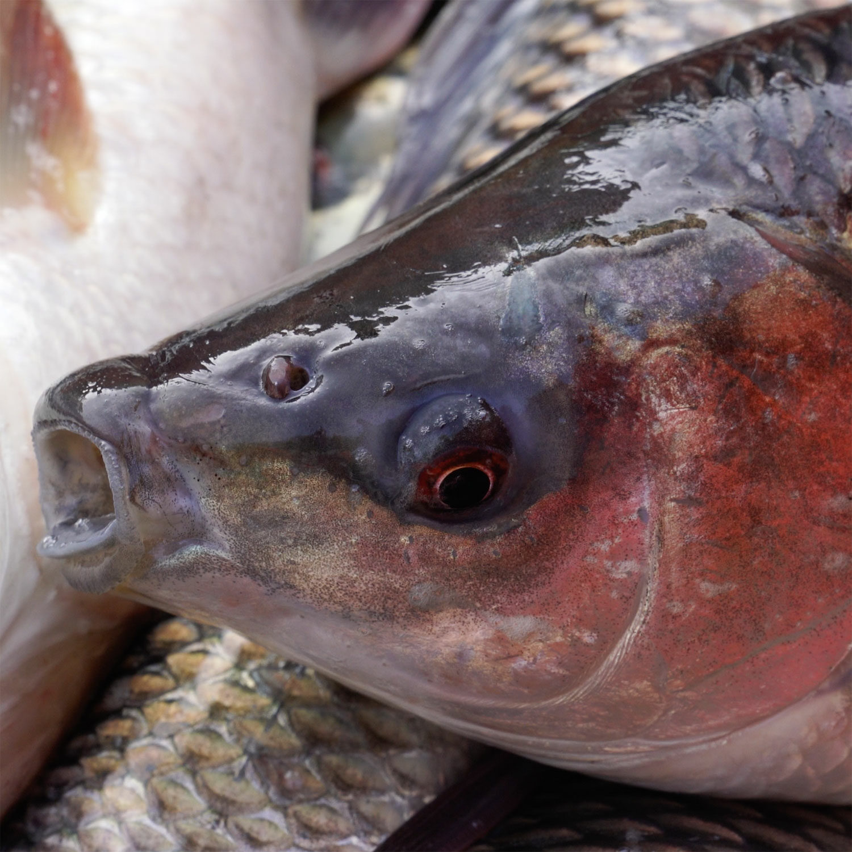 Closeup of fish on fish farm
