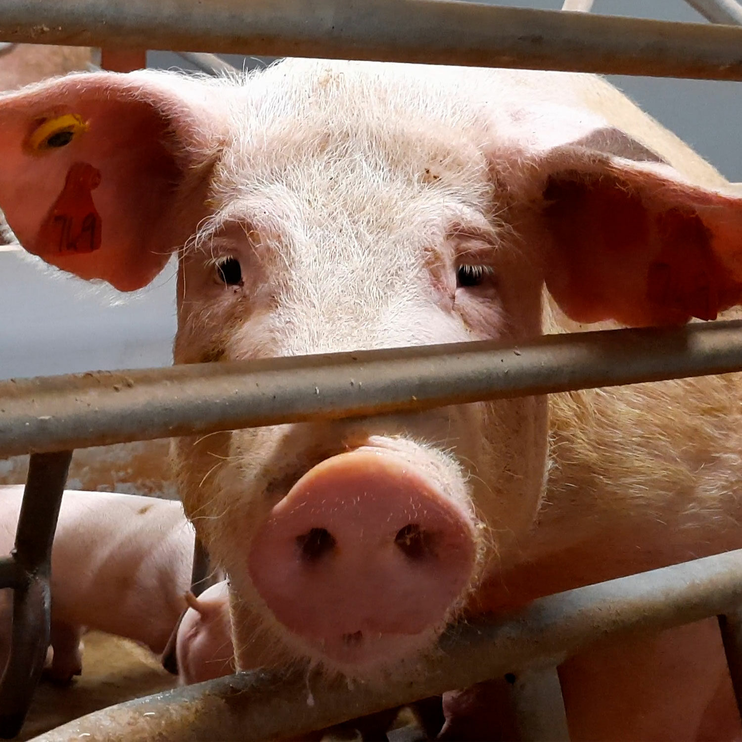 Closeup of mother pig in crate